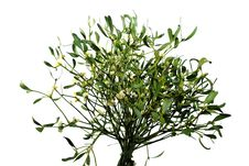 Mistletoe On White Background Royalty Free Stock Image
