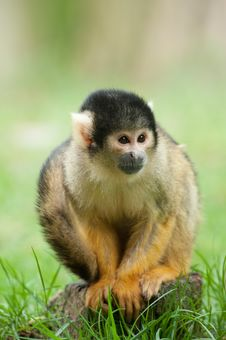 Free Cute Squirrel Monkey Stock Photos - 17124243