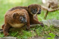 Free Cute Red-bellied Lemur With Baby Stock Images - 17124274