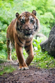Free Sumatran Tiger Royalty Free Stock Images - 17124379