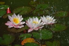 Free Beautiful Water Lilly In Rain Royalty Free Stock Images - 17126979