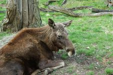 Free Moose - European Elk Europe (Alces Alces) Royalty Free Stock Images - 17127059