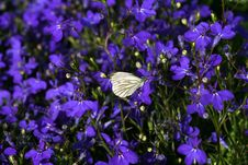 Free White Butterfly Royalty Free Stock Photo - 17128955