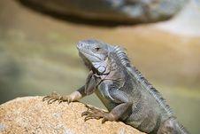 Free Iguana Resting On A Rock Stock Photo - 17129660