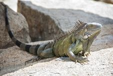 Free Large Iguana Resting On A Rock Royalty Free Stock Images - 17129669