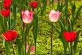 Free Close-up Of Beautiful Tulips Royalty Free Stock Photo - 17133885