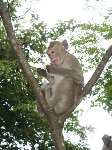 Free Monkey Royalty Free Stock Photos - 17131918