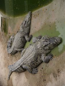 Free Two Crocodiles Stock Images - 17131954