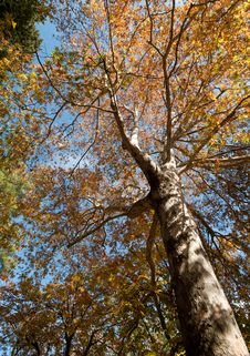 Free Plane Tree In Autumn Royalty Free Stock Image - 17133146