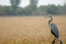 Free Heron Royalty Free Stock Photography - 17133257