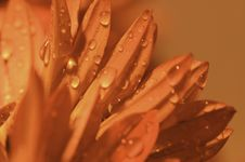 Macro Red Petals With Dews Royalty Free Stock Photo