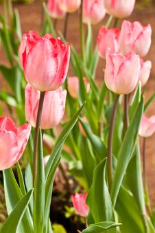 Free Close-up Group Of Pink Beautiful Tulips Royalty Free Stock Images - 17134019