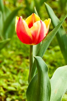 Free Close-up Of Beautiful Tulip Stock Photos - 17134363