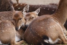 Free Vietnamese Sika Deer Juveniles Stock Photo - 17135190