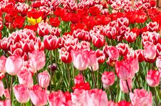 Free Close-up Group Of  Beautiful Tulips Stock Images - 17135554