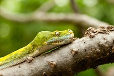 Free Green Tree Python. Stock Images - 17135764