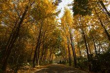 Free Ginkgo Trees Stock Photos - 17136653