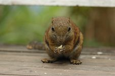 Free Squirrel Eating Royalty Free Stock Photos - 17136878