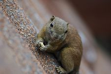Free Squirrel Eating Royalty Free Stock Photo - 17136925