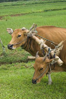 Free Plow Cows Stock Photos - 17137403