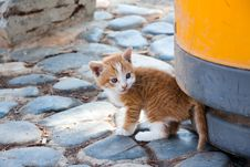 Free Little  England Lop-eared Kitten Stock Images - 17137634