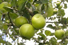 Free Ripe  Apples Stock Photo - 17138300