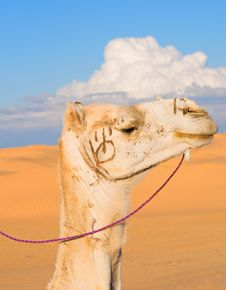 Free Head Of White Camel Royalty Free Stock Photography - 17138497
