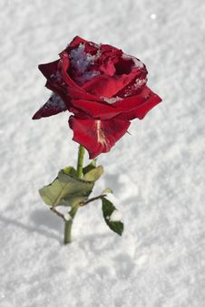 Free Red Rose On Snow Ground Royalty Free Stock Photography - 17138617