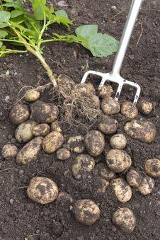 Free Freshly Dug Potatoes Stock Photo - 17138660