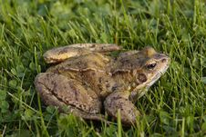 Free Common Frog On Grass Stock Photography - 17138762