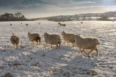 Free Winter Landscapeand Sheep In Snow Royalty Free Stock Photos - 17138798