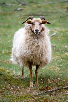 Free Sheep Royalty Free Stock Photos - 17139528