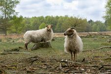 Free Sheep Royalty Free Stock Images - 17139559