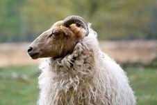 Free Close Up Sheep Royalty Free Stock Photos - 17139578