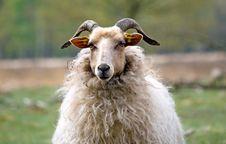Free Close Up Sheep Stock Image - 17139601
