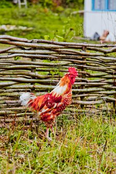 Free Rooster Near A Wooden Fence In Village Royalty Free Stock Photo - 17140305
