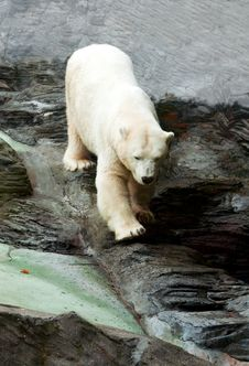 Free Polar Bear Down On The Rocks Royalty Free Stock Images - 17143239