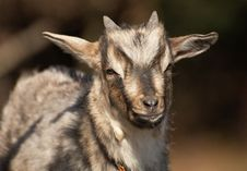 Free Young Goat In Black Forrest Germany Stock Photos - 17143303