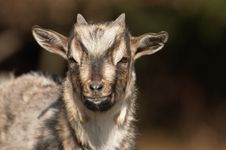 Free Young Goat In Black Forrest Germany Stock Image - 17143341