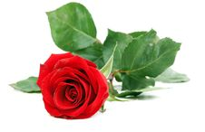 Free Red Rose With Green Stem Stock Photo - 17143630
