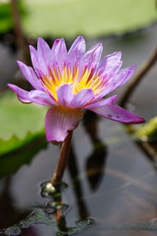 Free Purple Water Lily Royalty Free Stock Photo - 17144375