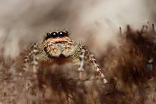 Free Spider Salticus Royalty Free Stock Image - 17145556