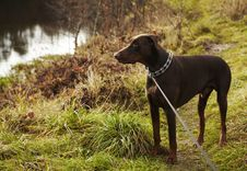 Free Young Brown Doberman. Stock Images - 17147664