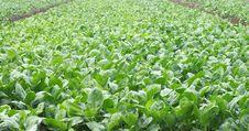 Free Vegetables Farms Royalty Free Stock Photos - 17149998