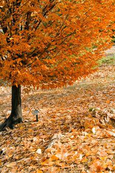 Free Fall Tree Stock Image - 17150391