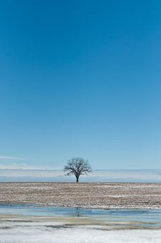 Lone Tree In Winter Field With Blue Sky