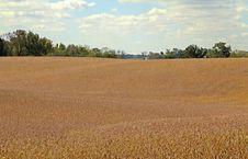 Free Soybean Field Stock Image - 17155161