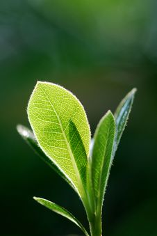 Free Close-up Leaves Royalty Free Stock Photography - 17156357