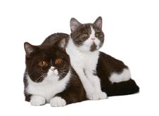 Cat And Kitten Chocolate White Color. Royalty Free Stock Photography