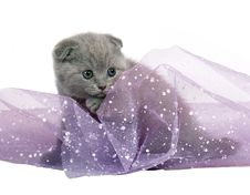 Free Blue Scottish Fold Kitten. Royalty Free Stock Photos - 17157128